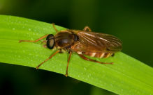 Use a super-wetter to enhance frit fly control