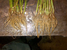 Boost spring barley establishment with root-promoting seed treatment